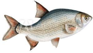 poisson gras DMLA