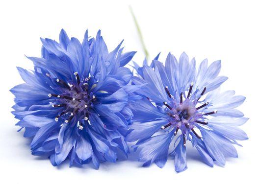 eau de bleuet soin pour les yeux